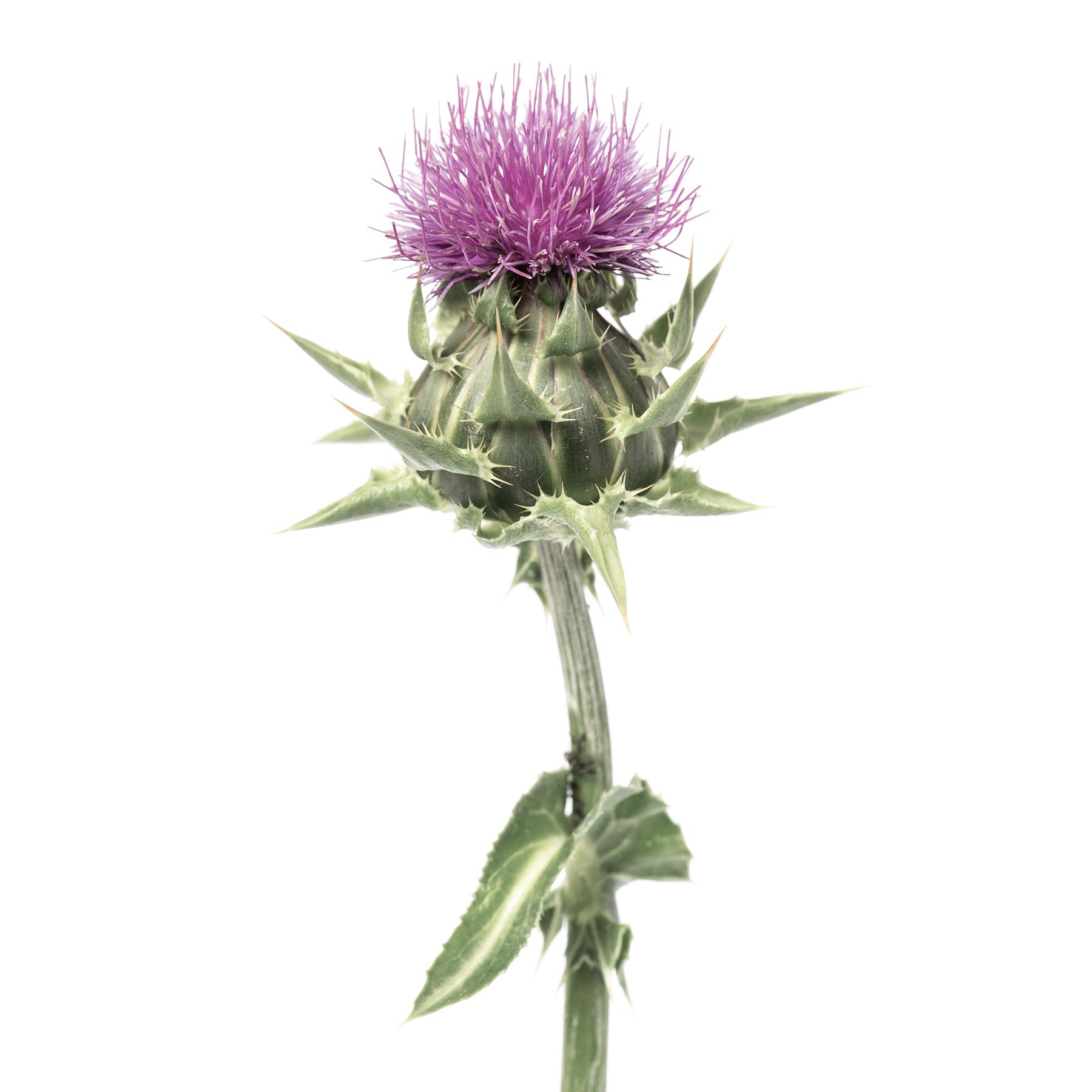 Photo einer blühenden Mariendistel